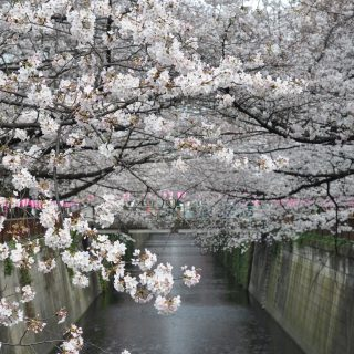https://www.timeout.com/tokyo/news/cherry-blossoms-forecasted-to-bloom-early-in-tokyo-and-japan-in-2019